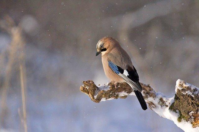 Lintujen talvehtiminen