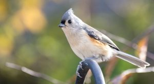 Backyard birds, close up of tufted titmouse perched on a bird feeder