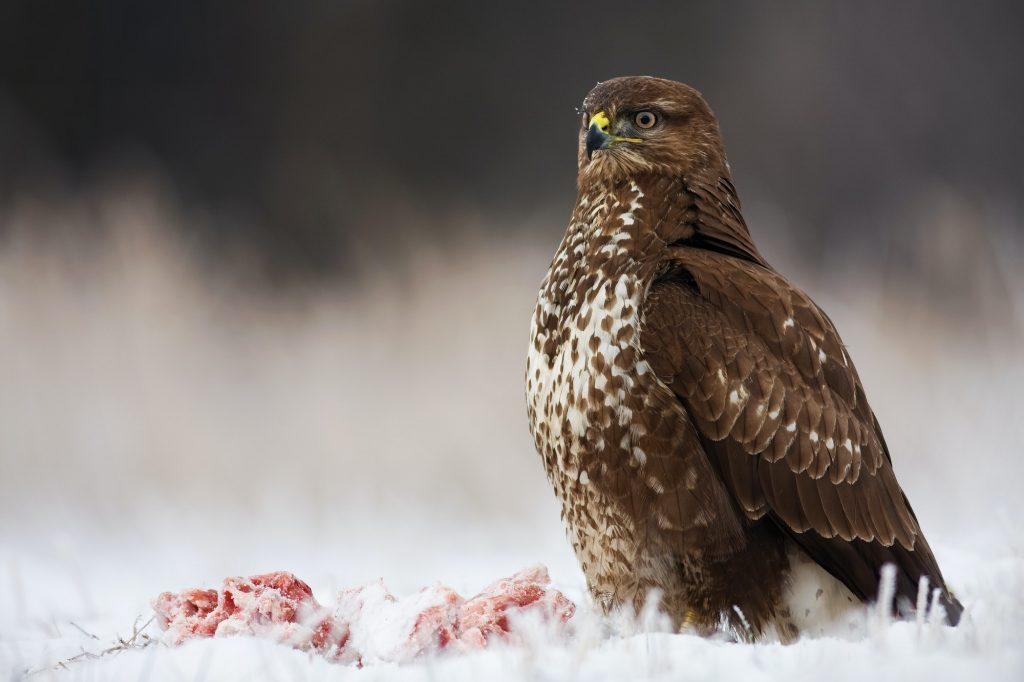 Lintujen bongaus talvella